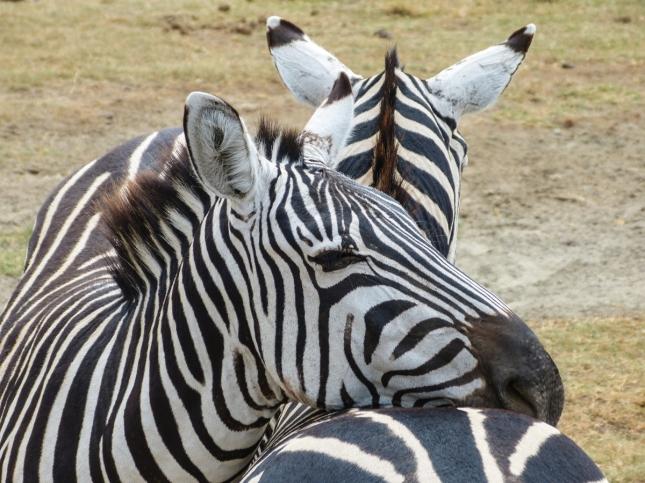 Lazy Zebras.