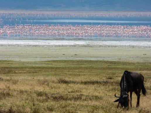 Wildebeest & Flamingos.