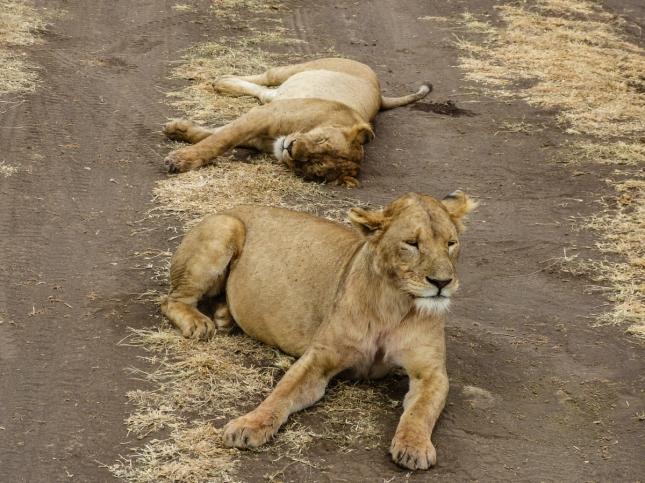 Female Lions.