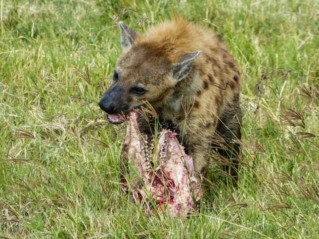 Hungry Hyena.