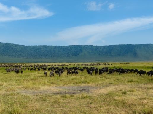 Wildebeest herd.
