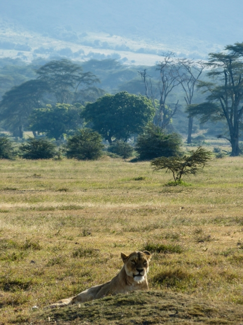 Lion with amazing background scenery.