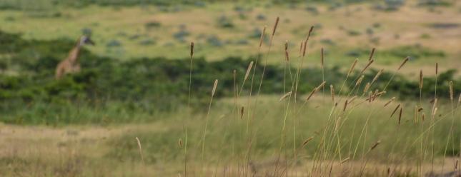 Giraffe in the distance