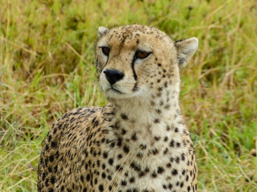 Curious Cheetah!