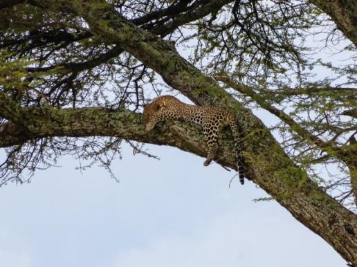 Sleeping Leopard.