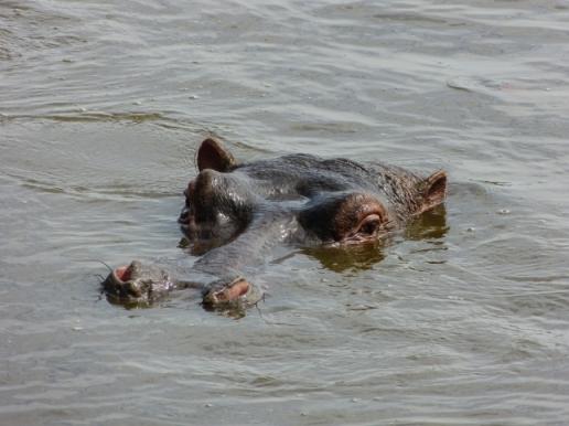 Happy Hippo!